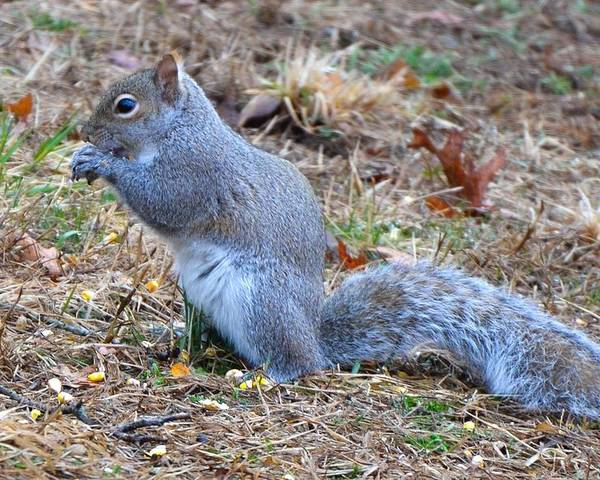 Squirrel Poster featuring the photograph Birdseed Thief by Amy Porter