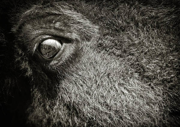 Buffalo Poster featuring the photograph Bisan Eye by Patrick M Lynch