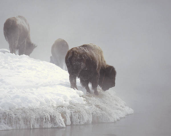 Feb0514 Poster featuring the photograph Bison Along Snowy Riverbank Yellowstone by Konrad Wothe