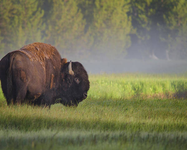 Bison Poster featuring the photograph Bison In Morning Light by Sandipan Biswas
