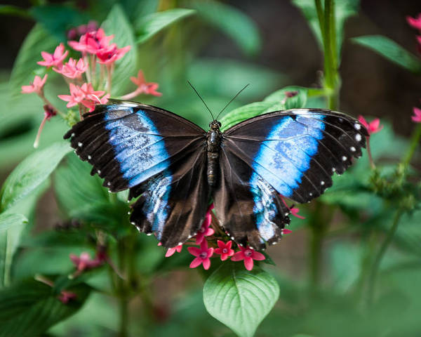 Flower Poster featuring the photograph Black and Blue Wings by Paul Johnson