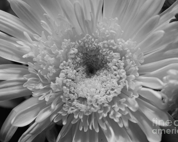 Chrysanthymum Poster featuring the photograph Black And White Chrysanthymum by Cheryl Hurtak