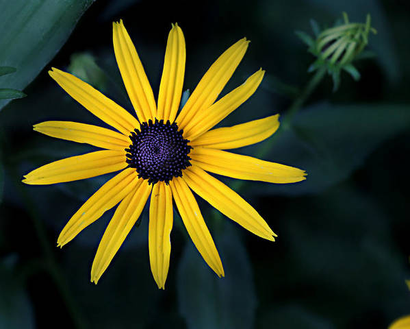 Asteraceae Poster featuring the photograph Black-eyed Susan by William Tanneberger