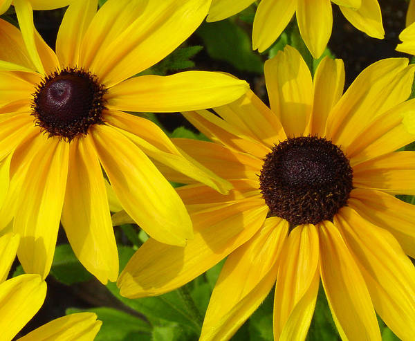 Black Eyed Susan Poster featuring the photograph Black-eyed Susans Close Up by Suzanne Gaff