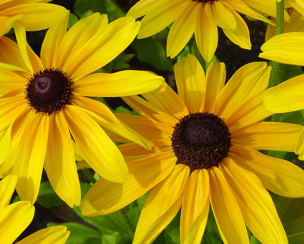 Black Eyed Susan Poster featuring the photograph Black Eyed Susans by Suzanne Gaff