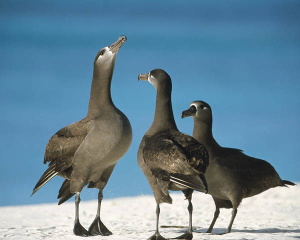 Feb0514 Poster featuring the photograph Black-footed Albatross Gamming Group by Tui De Roy