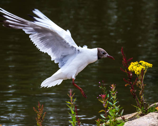 Seagull Poster featuring the photograph Black Head Gull - Preparing For Landing by Scott Lyons