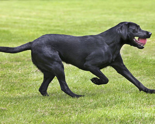 Labrador Retriever Poster featuring the photograph Black Labrador Playing by Johan De Meester