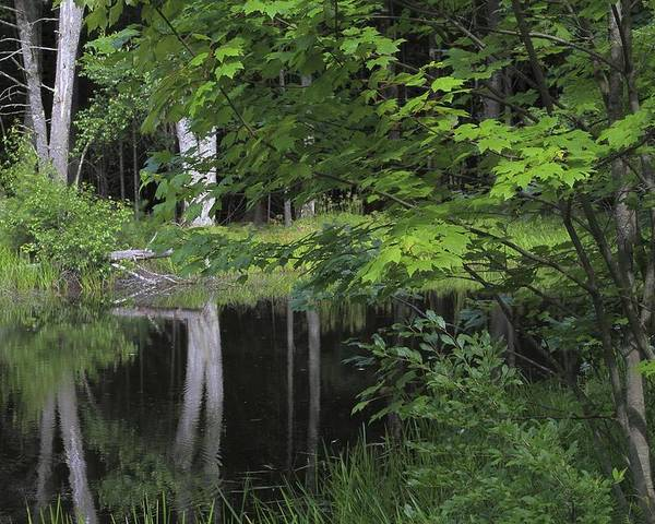 Forest Poster featuring the photograph Black Pond And Maple by Colleen Williams