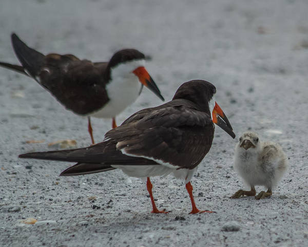 Florida Poster featuring the photograph Black Skimmers by Jane Luxton