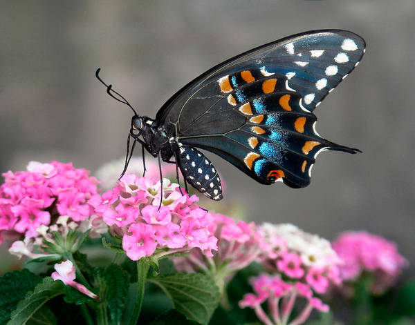 Butterfly Poster featuring the photograph Black Swallowtail Butterfly by David and Carol Kelly