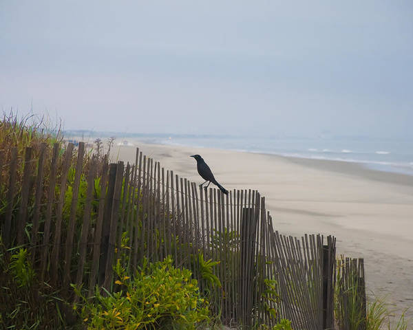 Blackbird Poster featuring the photograph Blackbird On A Fence On The Beach by Bill Cannon