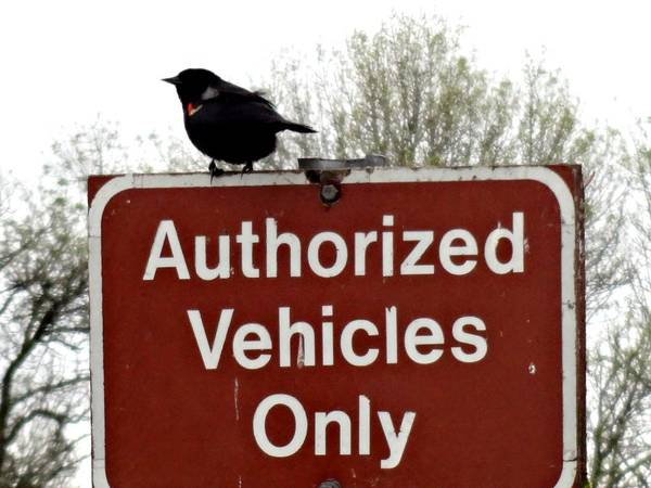 Ridgefield National Wildlife Refuge Poster featuring the photograph Blackbird On Patrol by Lizbeth Bostrom
