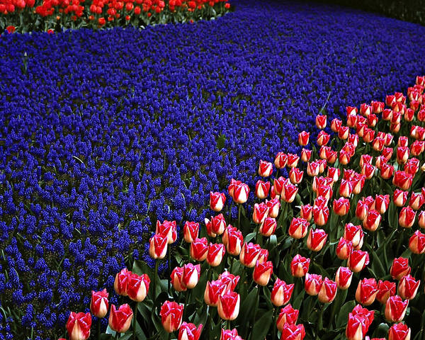 Outdoor Garden Poster featuring the photograph Blend Of Tulips by Michael Faryma