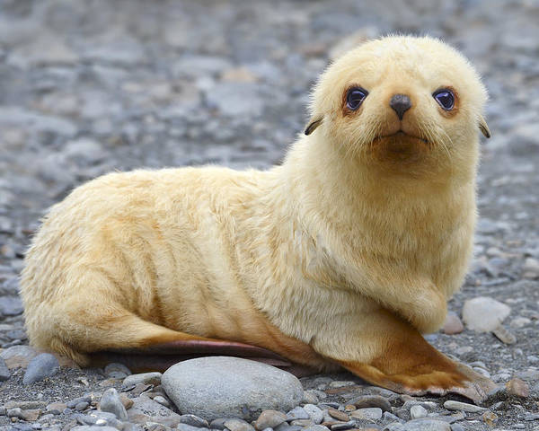 Antarctic Fur Seal Poster featuring the photograph Blondie by Tony Beck