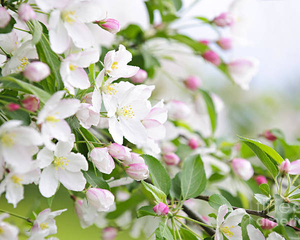 Apple Poster featuring the photograph Blooming Apple Tree by Elena Elisseeva