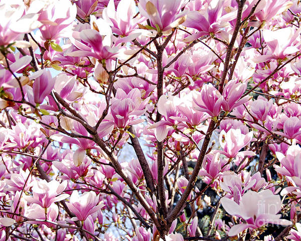 Spring Poster featuring the photograph Blooming Magnolia by Elena Elisseeva