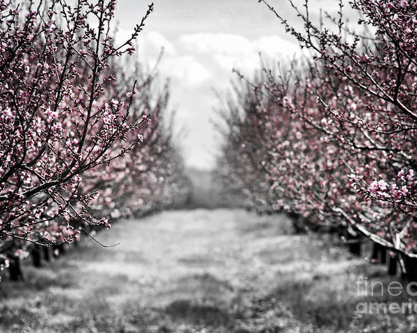 Peach Poster featuring the photograph Blooming Peach Orchard by Elena Elisseeva