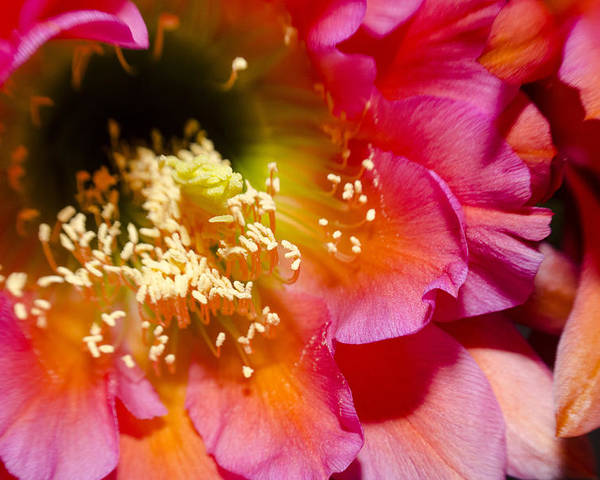 Flower Poster featuring the photograph Blooming Pink Explosions by Richard Henne