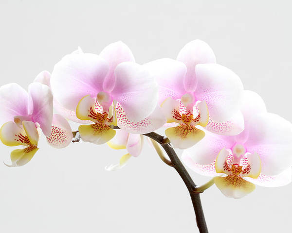 Orchid Poster featuring the photograph Blooms On White by Juergen Roth