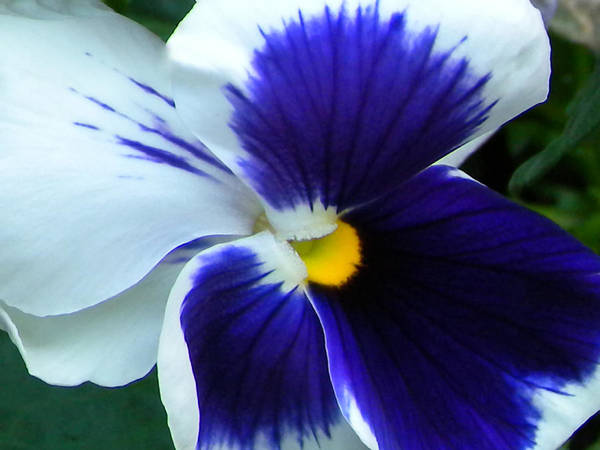 Pansy Poster featuring the photograph Blue And White Pansy by Brenda Parent