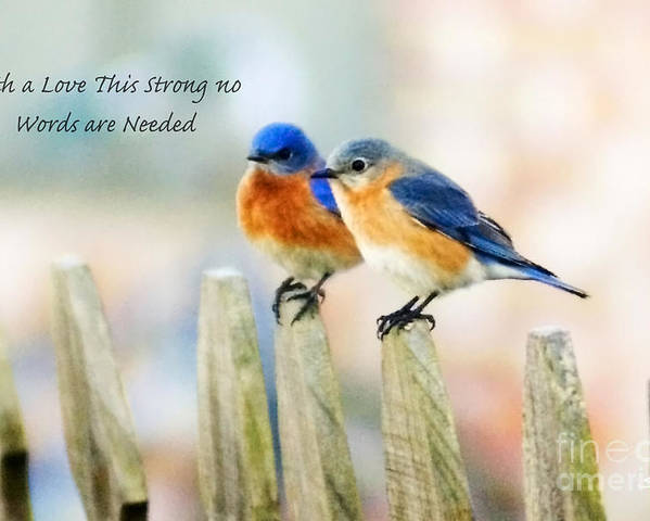 Animal Poster featuring the photograph Blue Bird Love Notes by Scott Pellegrin