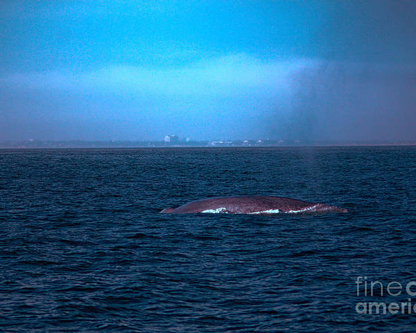 Whale Poster featuring the photograph Blue Day by Loretta Jean Photography