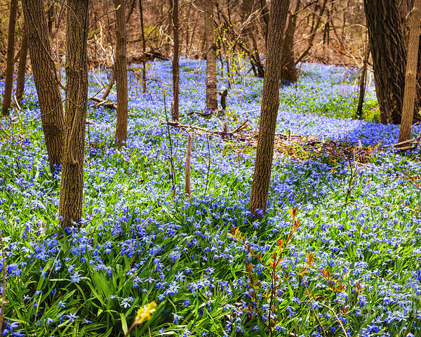 Flowers Poster featuring the photograph Blue Flowers In Spring Forest by Elena Elisseeva