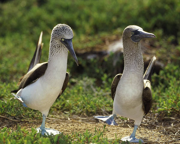 Mp Poster featuring the photograph Blue-footed Booby Pair In Courtship by Tui De Roy