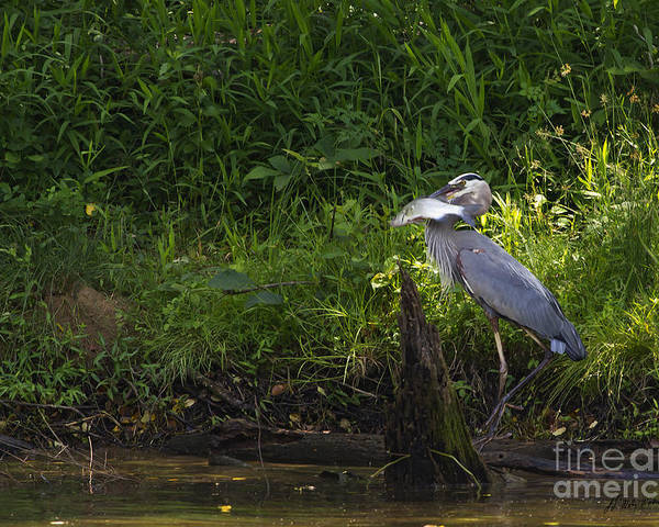 Bird Poster featuring the photograph Blue Heron With A Fish-signed by J L Woody Wooden