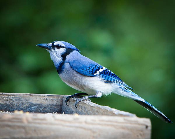Blue Poster featuring the photograph Blue Jay In Backyard Feeder by Jiayin Ma