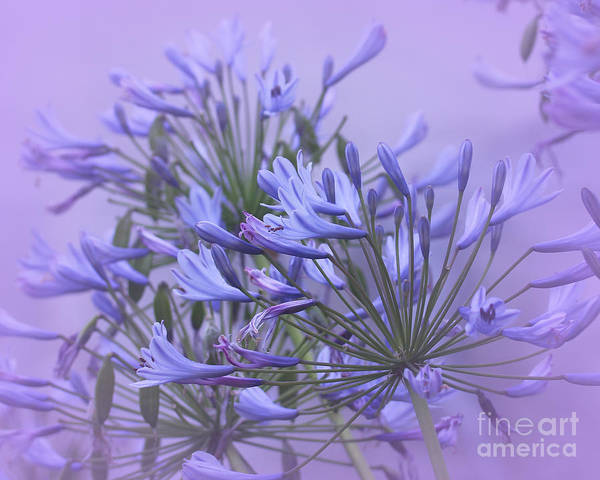 Agapanthus Poster featuring the photograph Blue Mist by Judi Bagwell