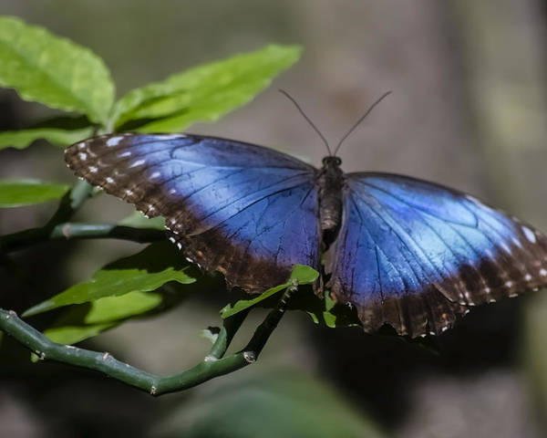 Blue Morph Butterfly Poster featuring the photograph Blue Morph Butterfly by Sven Brogren