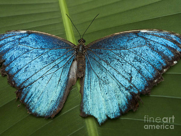 Mariposa Poster featuring the photograph Blue Morpho - Morpho Peleides by Heiko Koehrer-Wagner