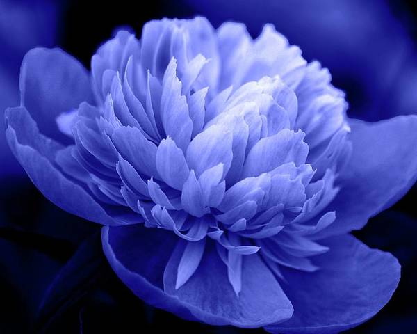 Flowers Poster featuring the photograph Blue Peony by Sandy Keeton