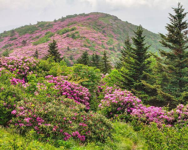 roan mountain rhodedendruns