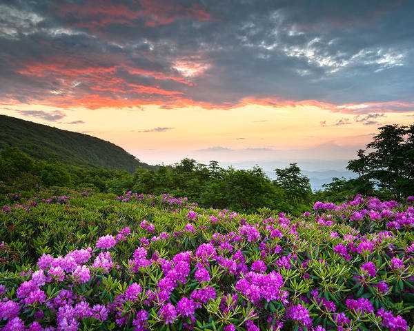 Craggy Gardens Poster featuring the photograph Blue Ridge Parkway Sunset - Craggy Gardens Rhododendron Bloom by Dave Allen