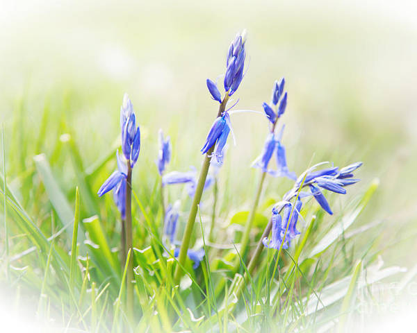 Bluebell Poster featuring the photograph Bluebells On The Forest by Natalie Kinnear