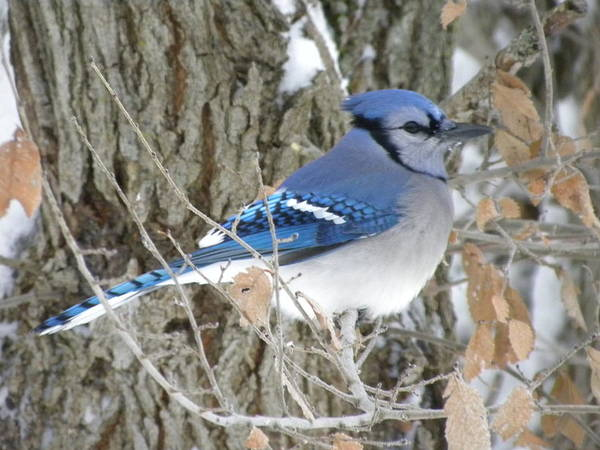 Winter Poster featuring the photograph Bluejay Beauty by Peggy McDonald