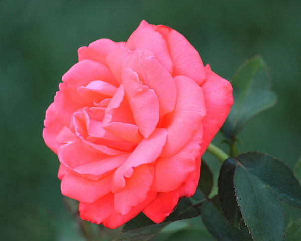 Pink Poster featuring the photograph Blushing Rose by Rosanne Jordan
