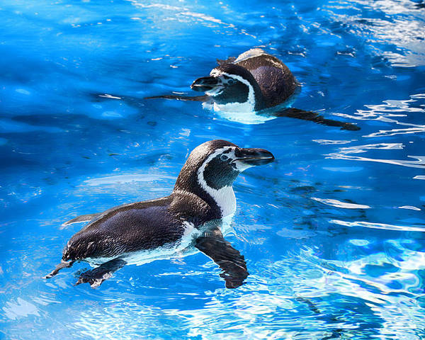 Maui Penguins Poster featuring the photograph Bobbing Time by Douglas Barnard