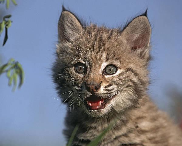 Bobcat Poster featuring the photograph Bobcat Kitten by Tim Fitzharris