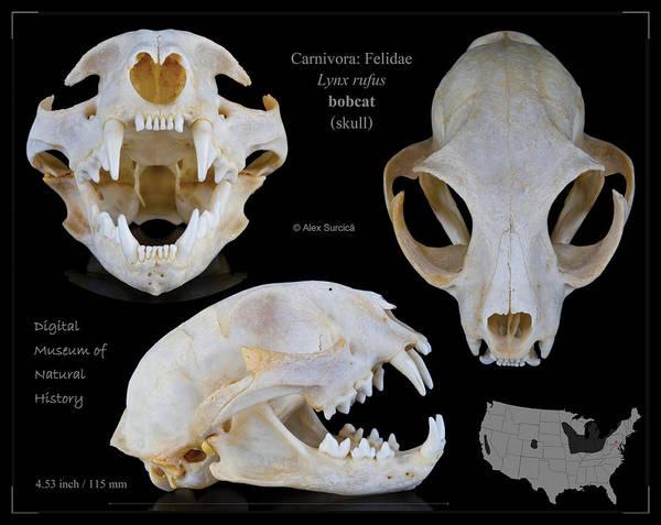 Bobcat Skull Poster featuring the digital art Bobcat Skull by Alex Surcica