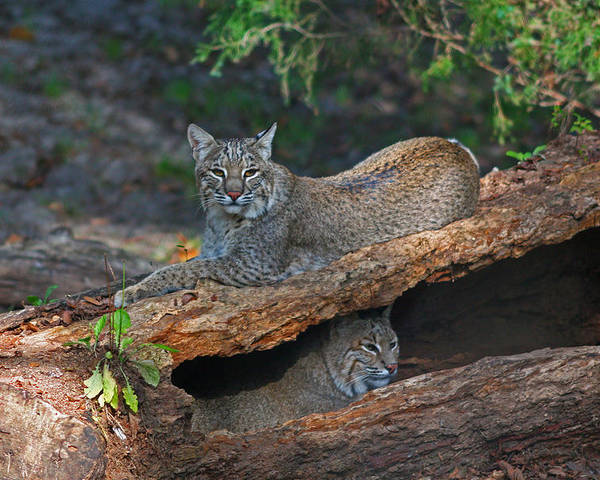 Bobcat Poster featuring the photograph Bobcats At Rest by Jean Clark