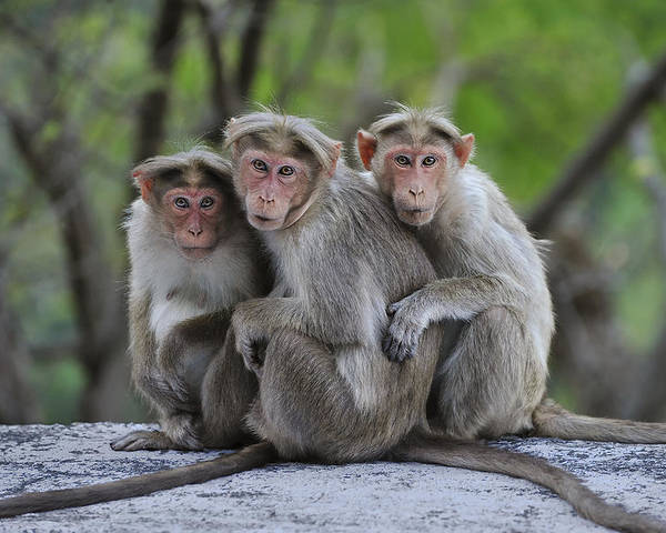 Thomas Marent Poster featuring the photograph Bonnet Macaque Trio Huddling India by Thomas Marent