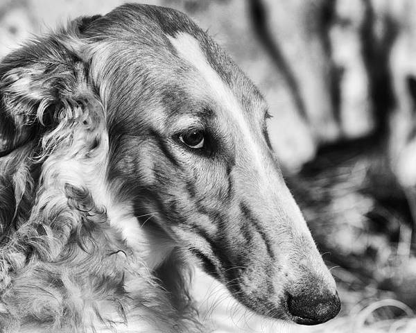 Borzoi Poster featuring the photograph Borzoi Dog Portrait by Christian Lagereek