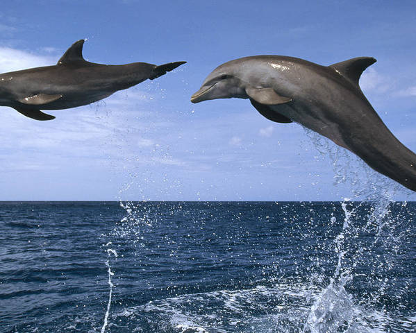 Feb0514 Poster featuring the photograph Bottlenose Dolphins Leaping Honduras by Konrad Wothe
