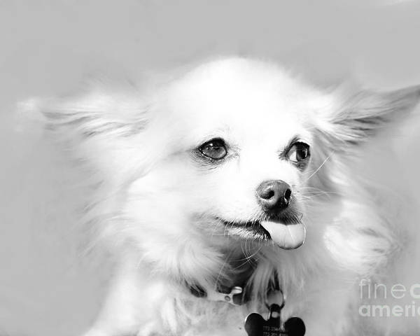 Chihuahua Poster featuring the photograph Bronx Cheerwawa by Lynda Dawson-Youngclaus