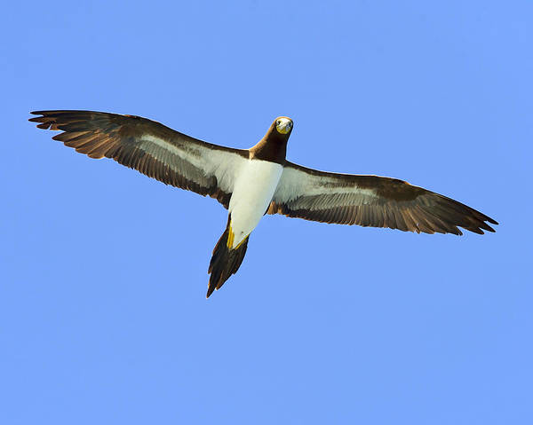 Brown Booby Poster featuring the photograph Brown Booby by Tony Beck