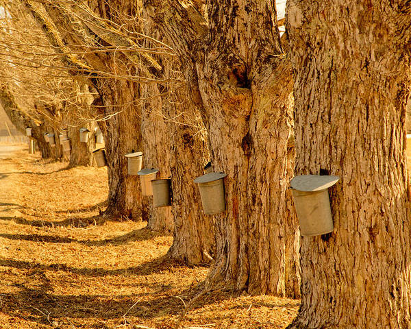 Angelic Maine Maple Syrup Maine Living Country Love Colors Gold Green Brown White Black Silver Metal Buckets Heavenly Hope Rockport Tap Tree Branch Liquid Money Maker In Maine Sky Holes Landscape Spring In Maine Poster featuring the photograph Buckets Of Gold by Melanie Leo